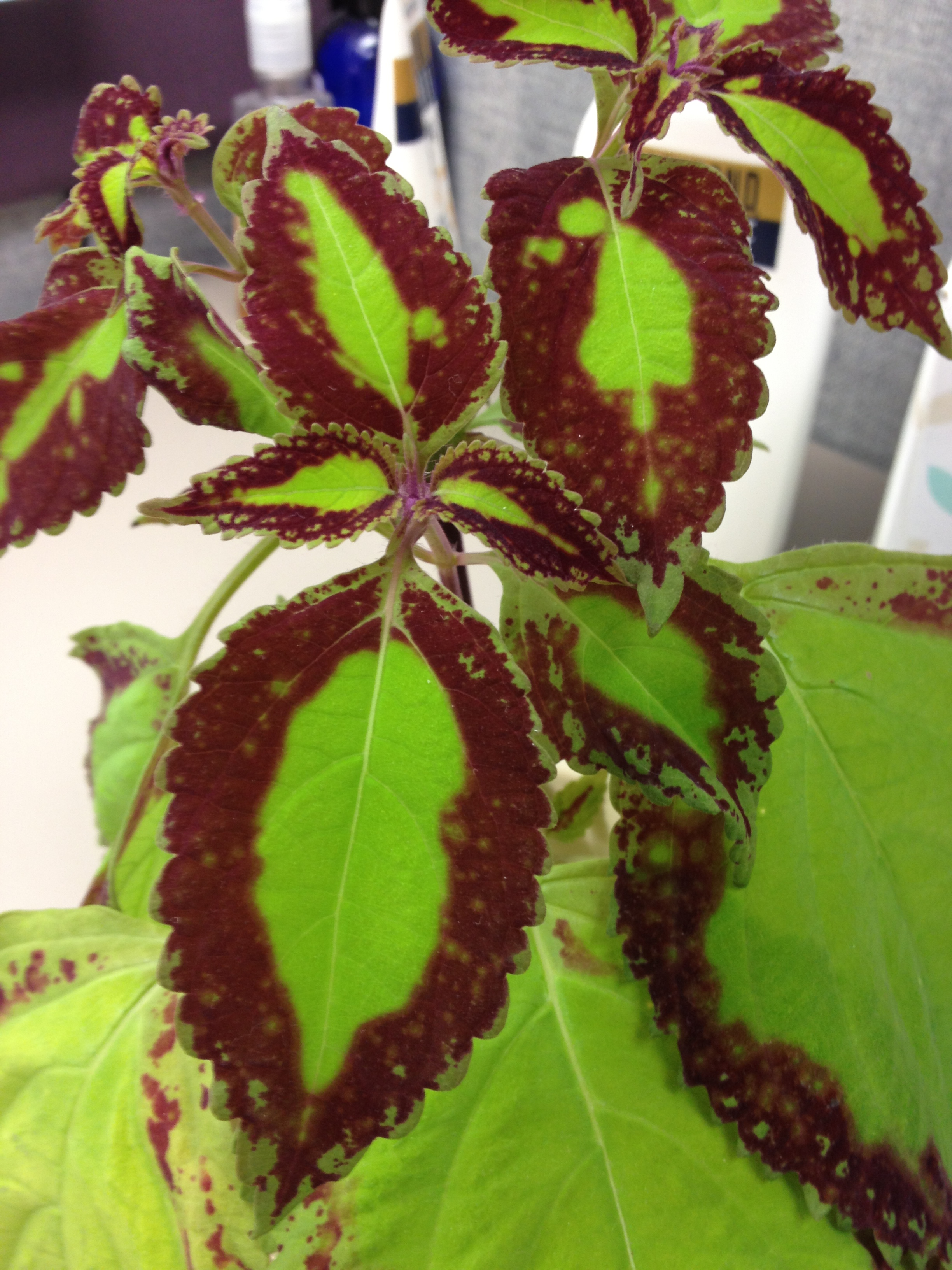 Best Kitchen Gallery: How To Identify A Houseplant Coleus Plant Ask Judy of House Plant Identifier By Leaf on rachelxblog.com