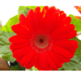 Barberton Daisy with red flowers