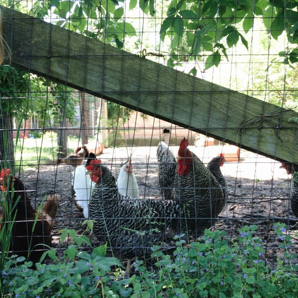 tryon chickens