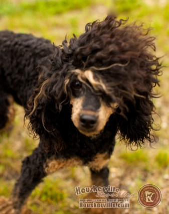 Prince - Miniature Poodle sire (phantom color)
