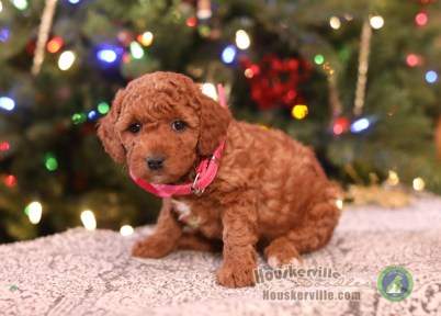 """Pheobe""- very curly female (pink c.)"