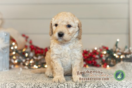 """""""Griffin""""- F1B Petite Goldendoodle Available as of 12-19-19"""