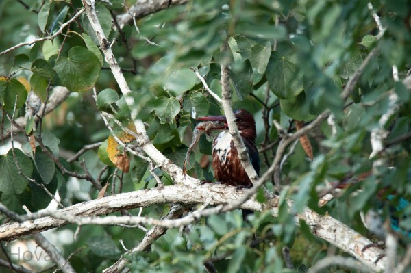 White-Throated Kingfisher, Jerusalem, Israel