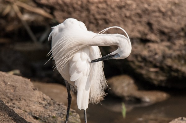 Little Egret in her Morning Routine