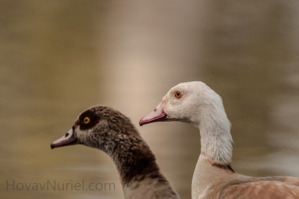 Egyptian Goose Couple