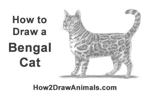 How To Draw A Cat Bengal