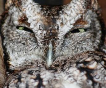 Belle, the Howard County Conservancy's eastern screech owl