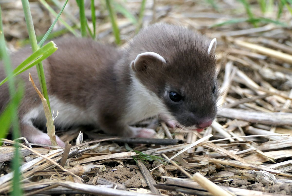 lockdown 2020 wildlife baby stoat
