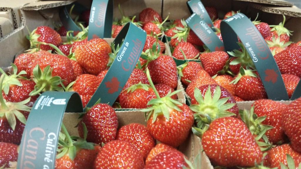 Ontario farm strawberries