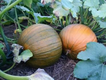 pumpkin patch ontario canada