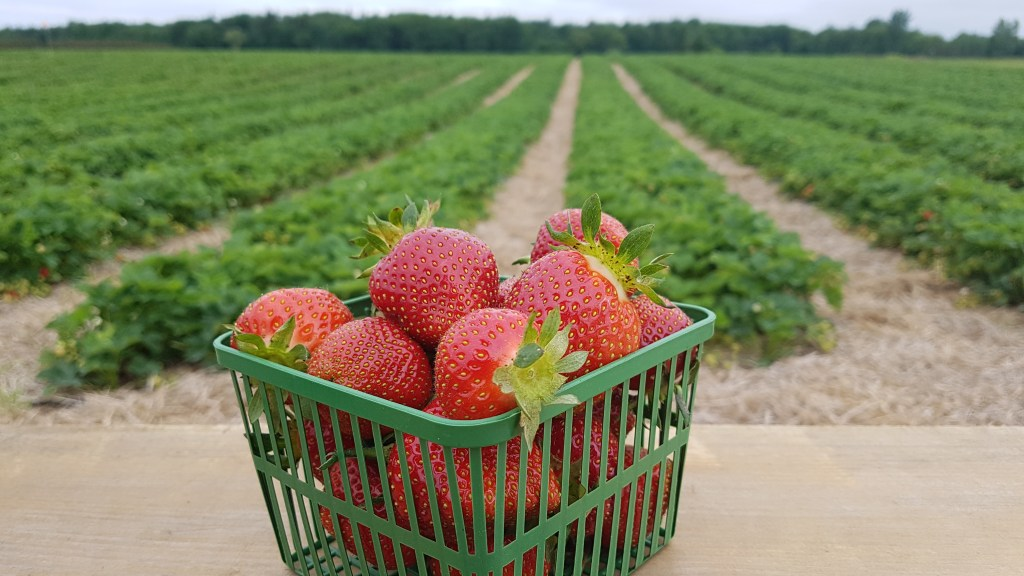 ontario farm fresh strawberries