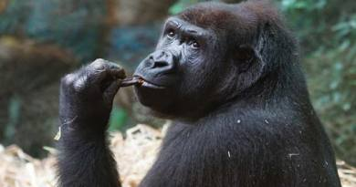 Top 10 Amazing Fun Facts about Gorillas