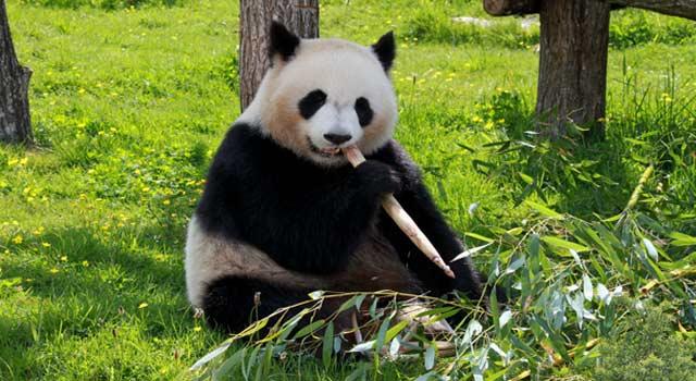 Best 8 Interesting Fun Facts about Pandas