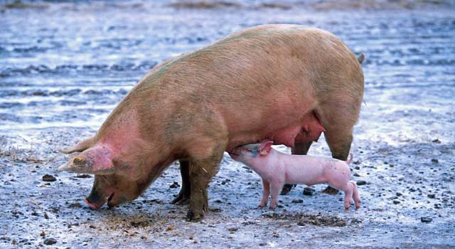 Top 10 Interesting Funny Facts about Pigs