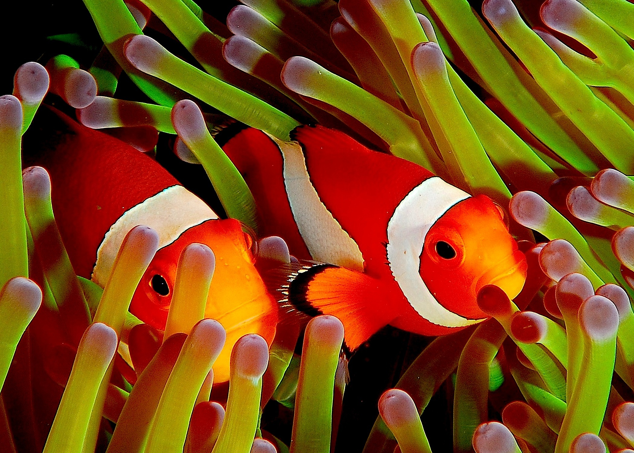 5 Fascinating Facts About Clownfish