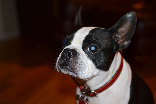 How Much Does Cataract Surgery In Dogs Cost