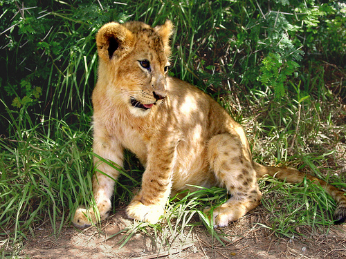 How Much Does A Lion Cub Cost