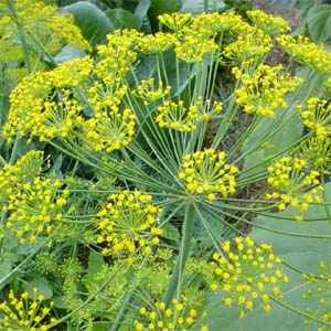 dill for weight loss