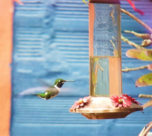 White-bellied Woodstar Observatorio de Colibries Hummingbirds Observatory Bogota