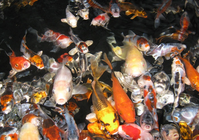 How to breed koi how to breed for Koi reproduction