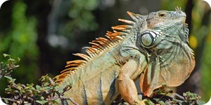How to Treat Your Iguana for Mites