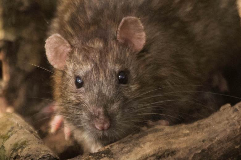 60643cf1de4 Keep Rats, Mice, and Squirrels Out Of Your Car - How To Prevent Rats ...