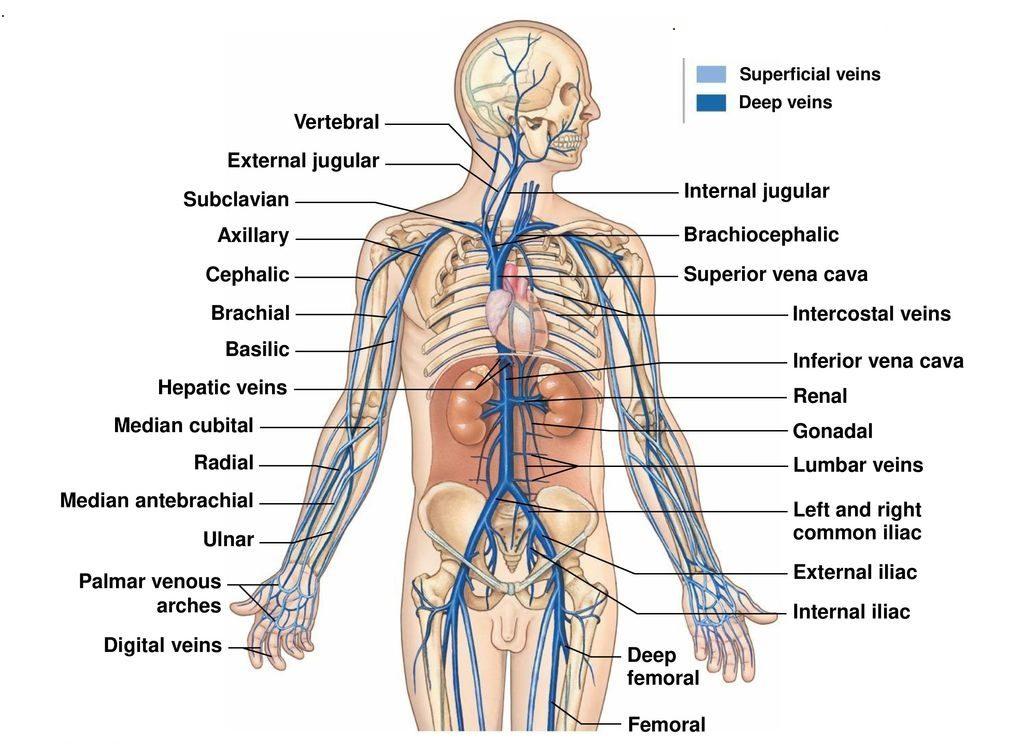 Heart To Right Leg Venous Anatomy