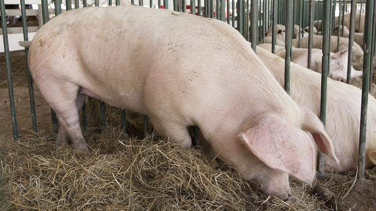 Cómo reconocer, prevenir y notificar enfermedades porcinas en Argentina
