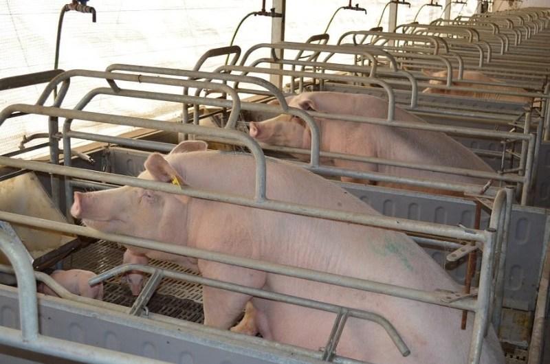 Triquinosis: recomendaciones para la prevención de una zoonosis mortal