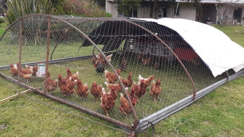 Tareas sanitarias destinadas a proteger la producción avícola