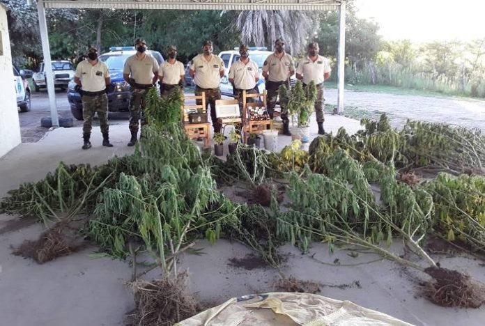 Hallaron en un campo una plantación de marihuana