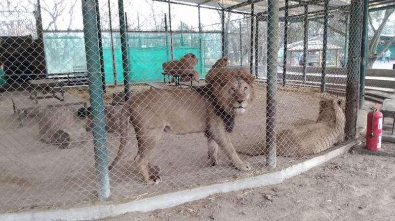 Zoo Luján: trasladan a 57 leones y tigres a una reserva en EE.UU