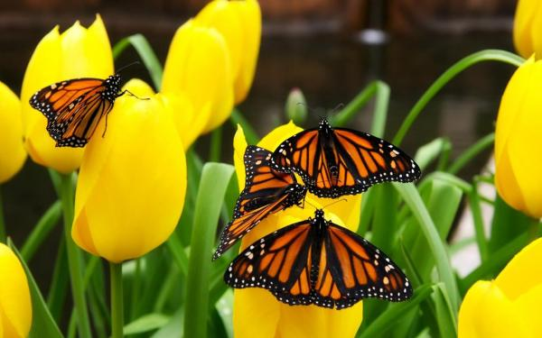 Бабочки на желтых тюльпанах обои для рабочего стола ...