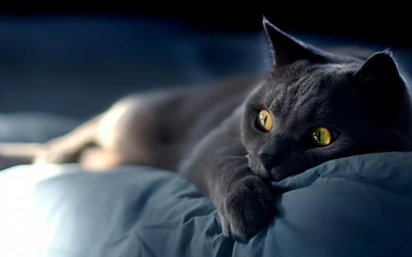 Персидский кот на кровати обои для рабочего стола ...