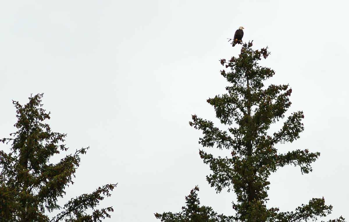 Bald Eagle On Top of Tree Photo