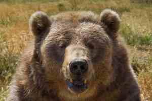Brown Bear Face Close Up Photo