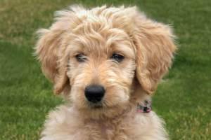 Goldendoodle Puppy Dog Sitting Photo