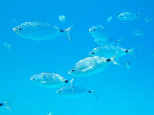 20150618 Formentera - Sahona Fish