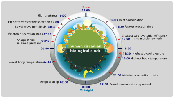 Image result for circadian rhythms performance