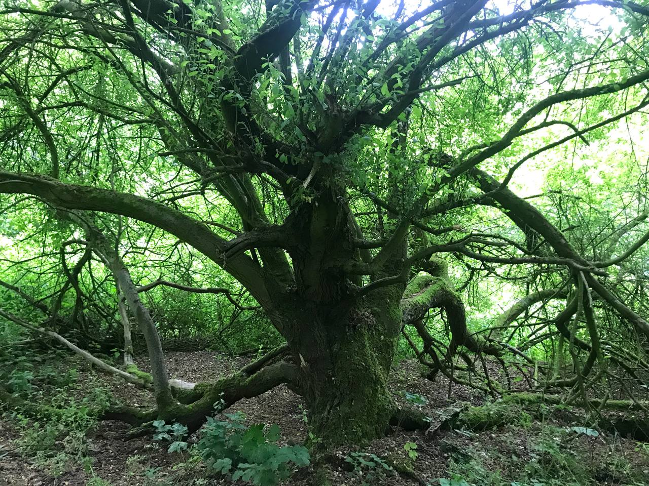 """Why HS2 can't simply """"replace"""" an ancient woodland"""