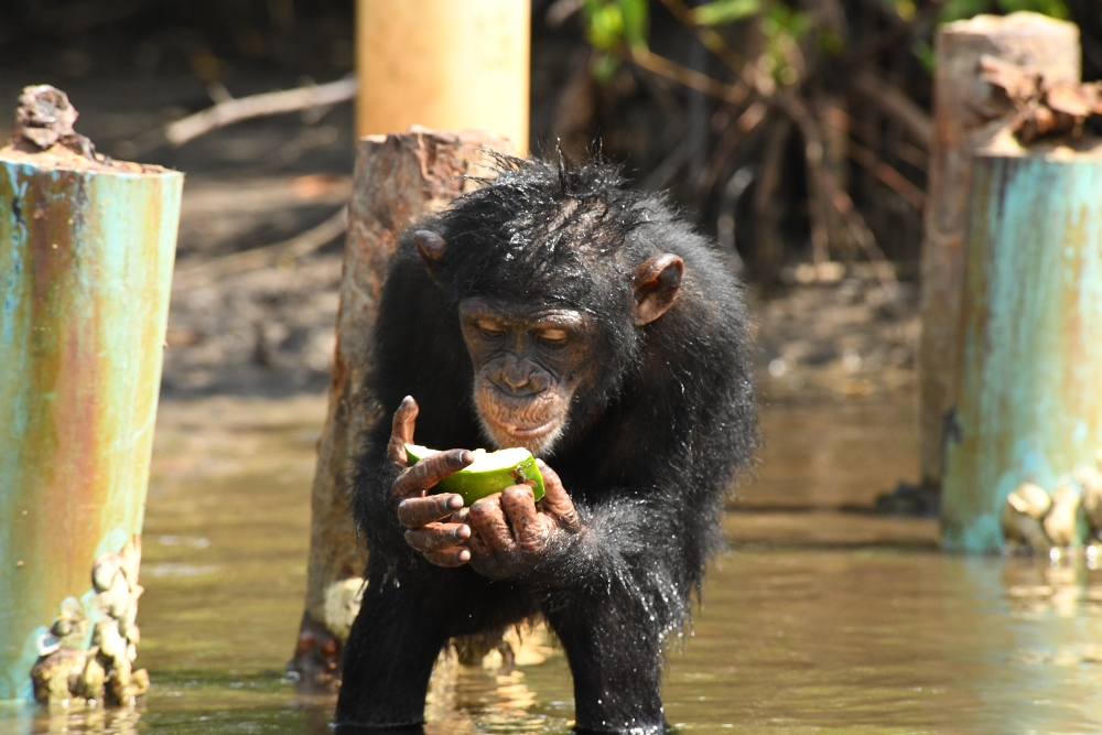 Chimp in sanctuary in Liberia