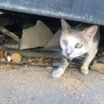 Cat in Lebanon
