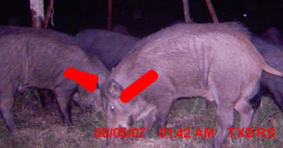 Feral hog - spine highlight (from TexasBoars.com)