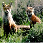 Foxes staying alert