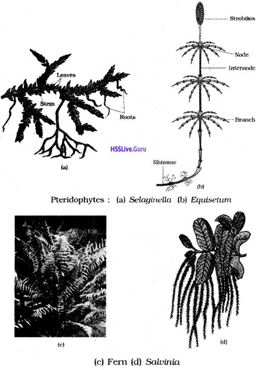 Plus One Botany Notes Chapter 2 Plant Kingdom 4