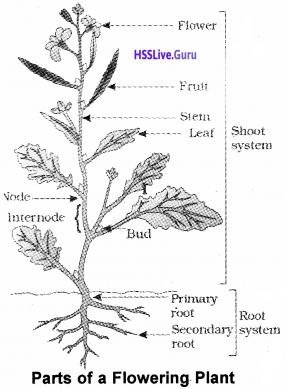 Plus One Botany Notes Chapter 3 Morphology of Flowering Plants 1
