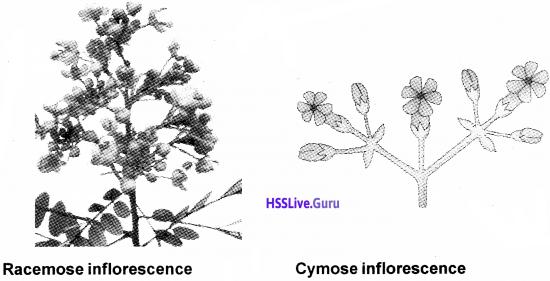 Plus One Botany Notes Chapter 3 Morphology of Flowering Plants 12