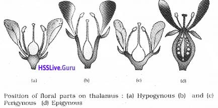 Plus One Botany Notes Chapter 3 Morphology of Flowering Plants 13