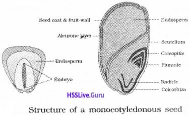 Plus One Botany Notes Chapter 3 Morphology of Flowering Plants 19