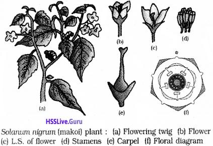 Plus One Botany Notes Chapter 3 Morphology of Flowering Plants 22